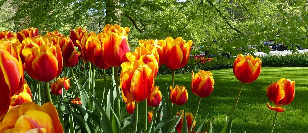 tulips kuekenhof